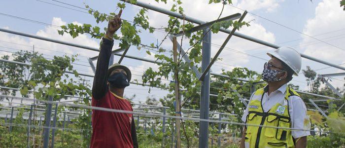 Gandeng Balitjestro, SIG Kerjasama Budidayakan Tanaman Buah di Lahan Green Belt Pabrik Tuban